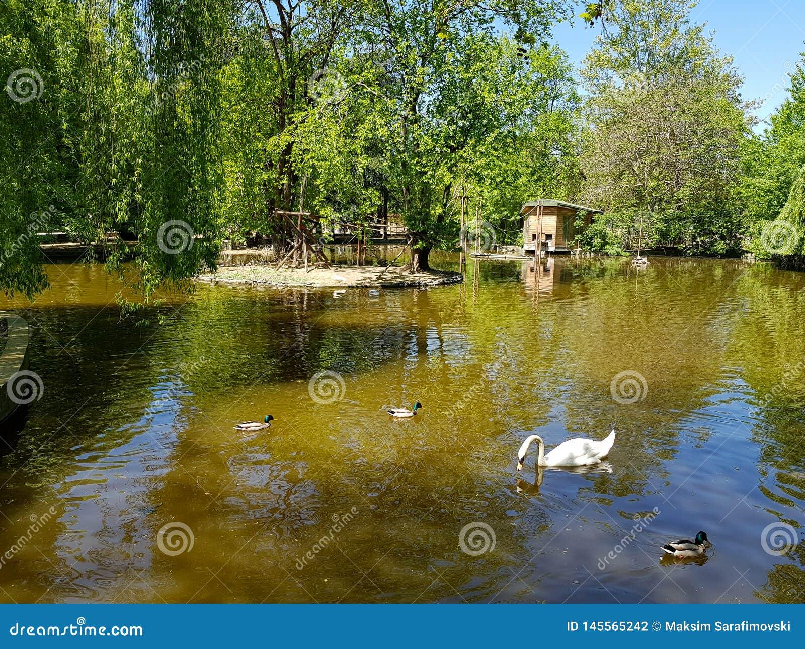 Ένας άσπρος κύκνος που κολυμπά στην ειρηνική λίμνη ή τη λίμνη με τις πάπιες γύρω από το
