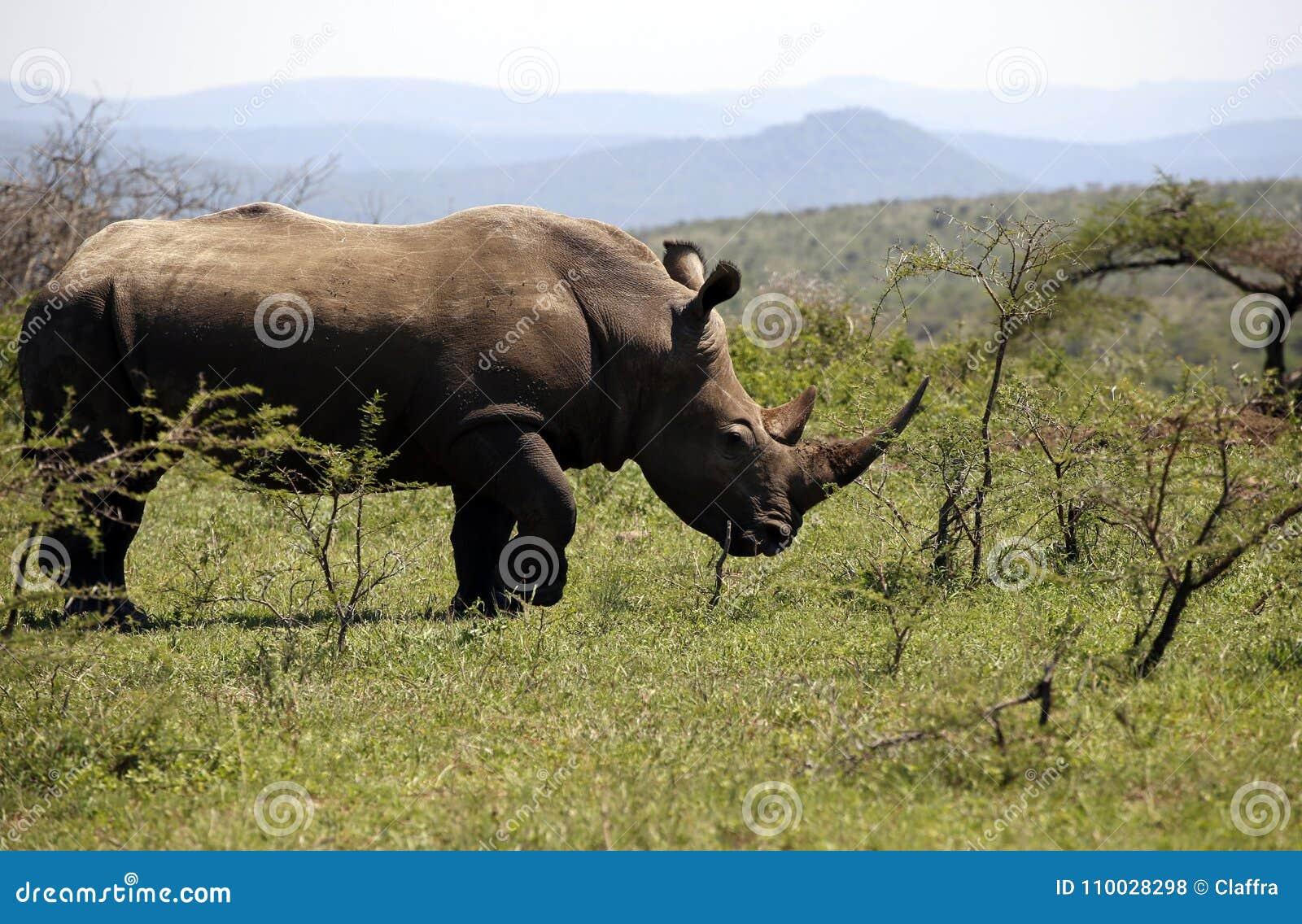 Ένας απόμερος άσπρος ρινόκερος στο NP, Αφρική