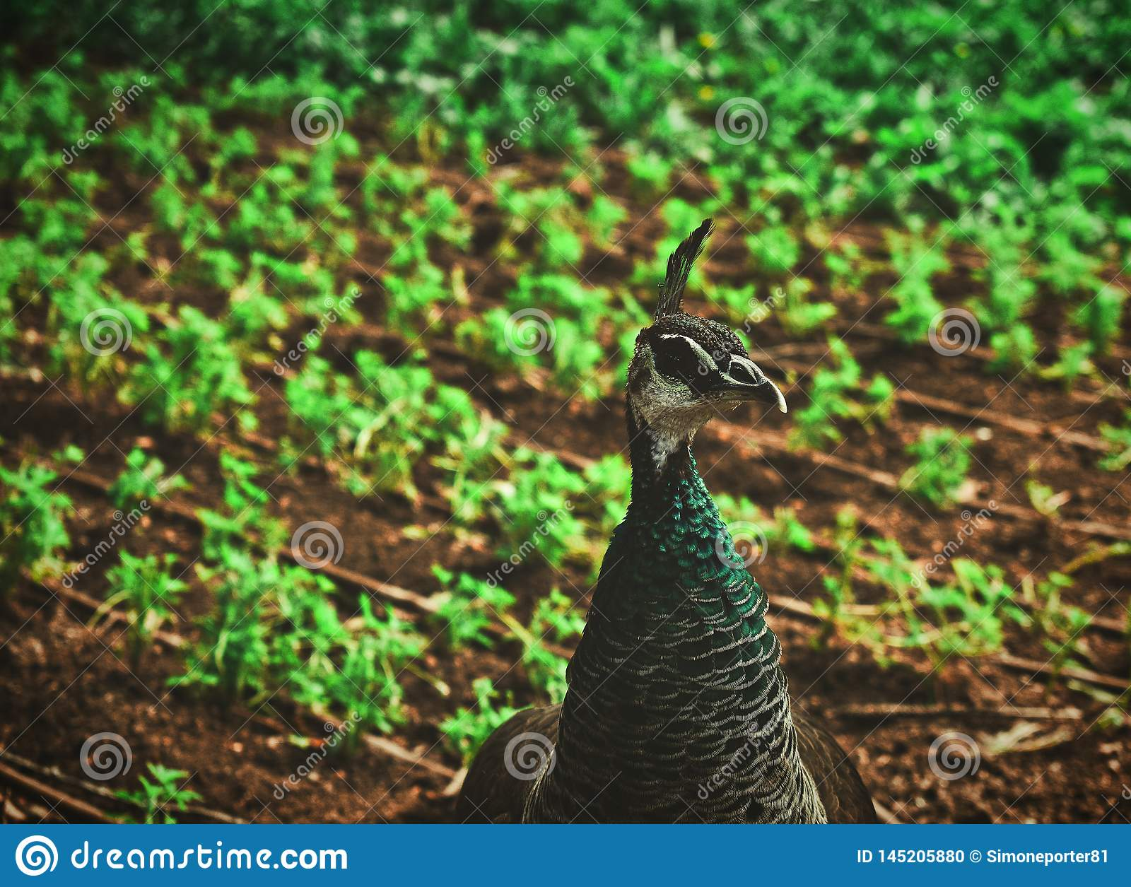 Ένας αρσενικός peacock σε έναν δημόσιο κήπο