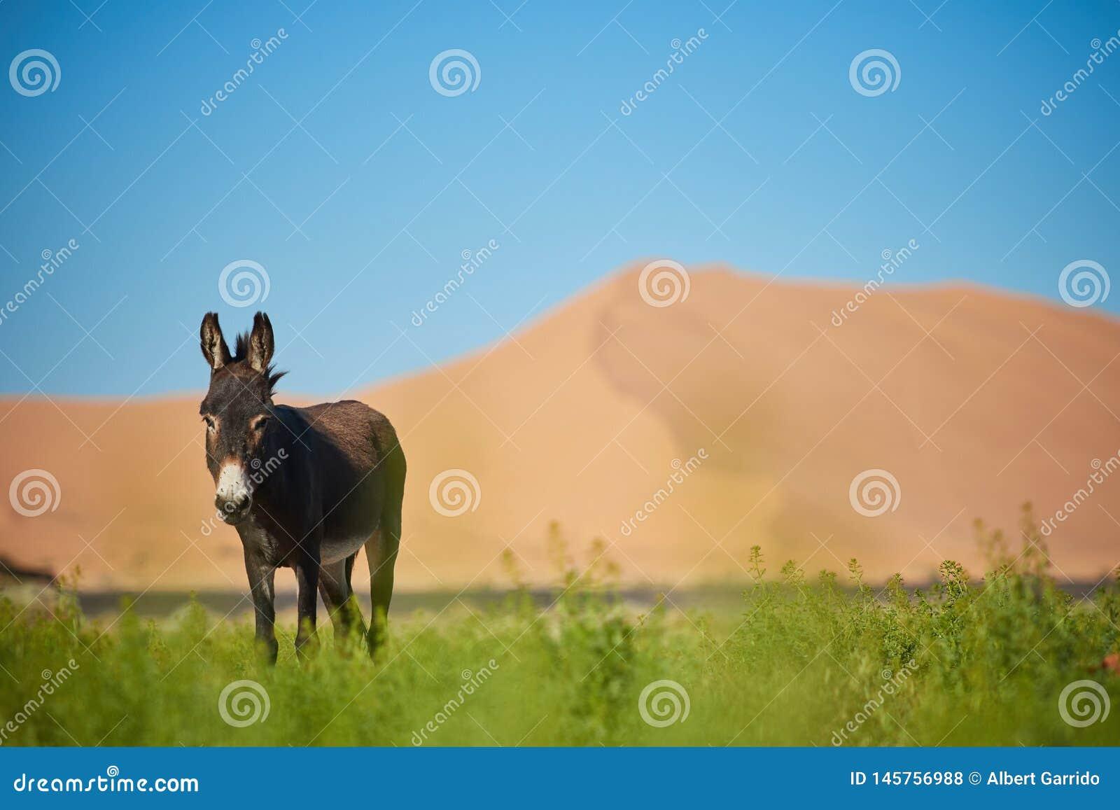 Ένας γάιδαρος μπροστά από το μεγάλο αμμόλοφο
