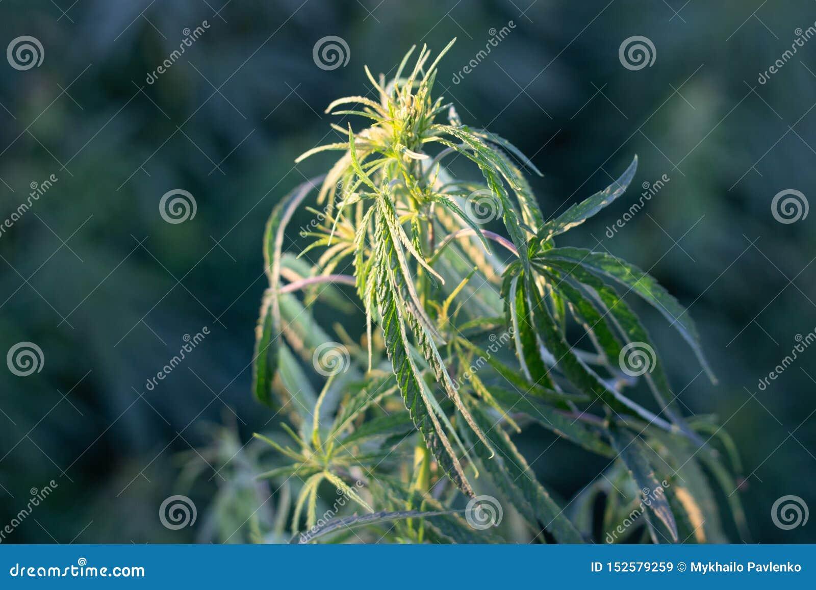Ένας θάμνος μαριχουάνα, με τους ισχυρούς κλάδους στους οποίους ώριμοι σπόροι