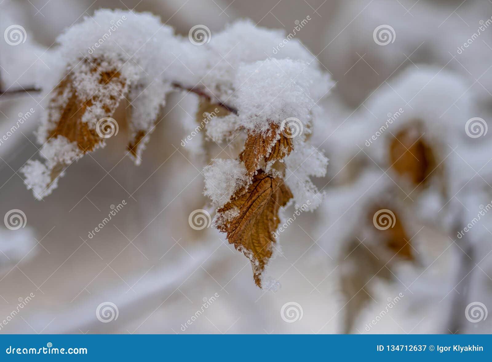 Ένας θάμνος της σταφίδας με τα κίτρινα λουλούδια κάτω από τα φύλλα σταφίδων snowyellow κάτω από το χιόνι
