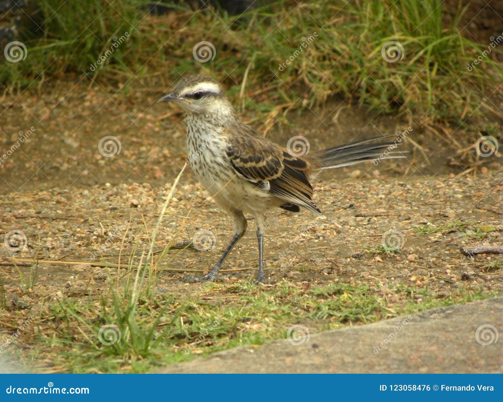 Ένας κιμωλία-browed mockingbird στον κήπο