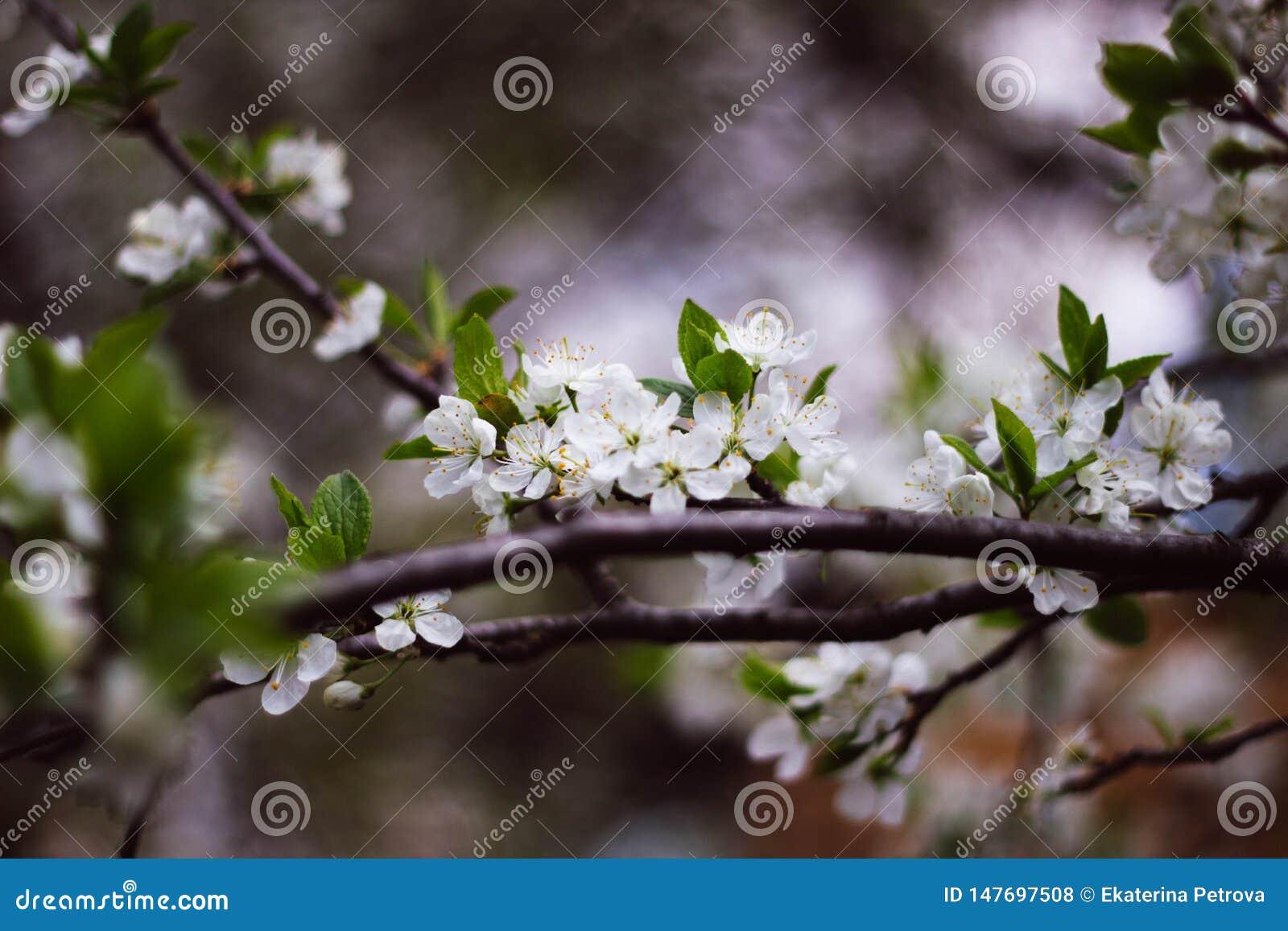 Ένας κλάδος μιας ανθίζοντας κινηματογράφησης σε πρώτο πλάνο δέντρων της Apple Άσπρα λουλούδια σε έναν κλάδο
