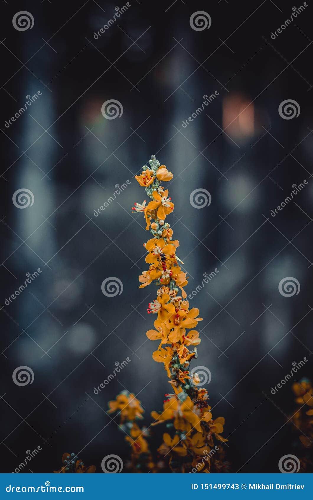 Ένας κλάδος της δασικής χλόης με τα φωτεινά πορτοκαλιά λουλούδια Ελάχιστα μόλις αξιοπρόσεχτη μέλισσα μεταξύ των λουλουδιών r Αμέσ