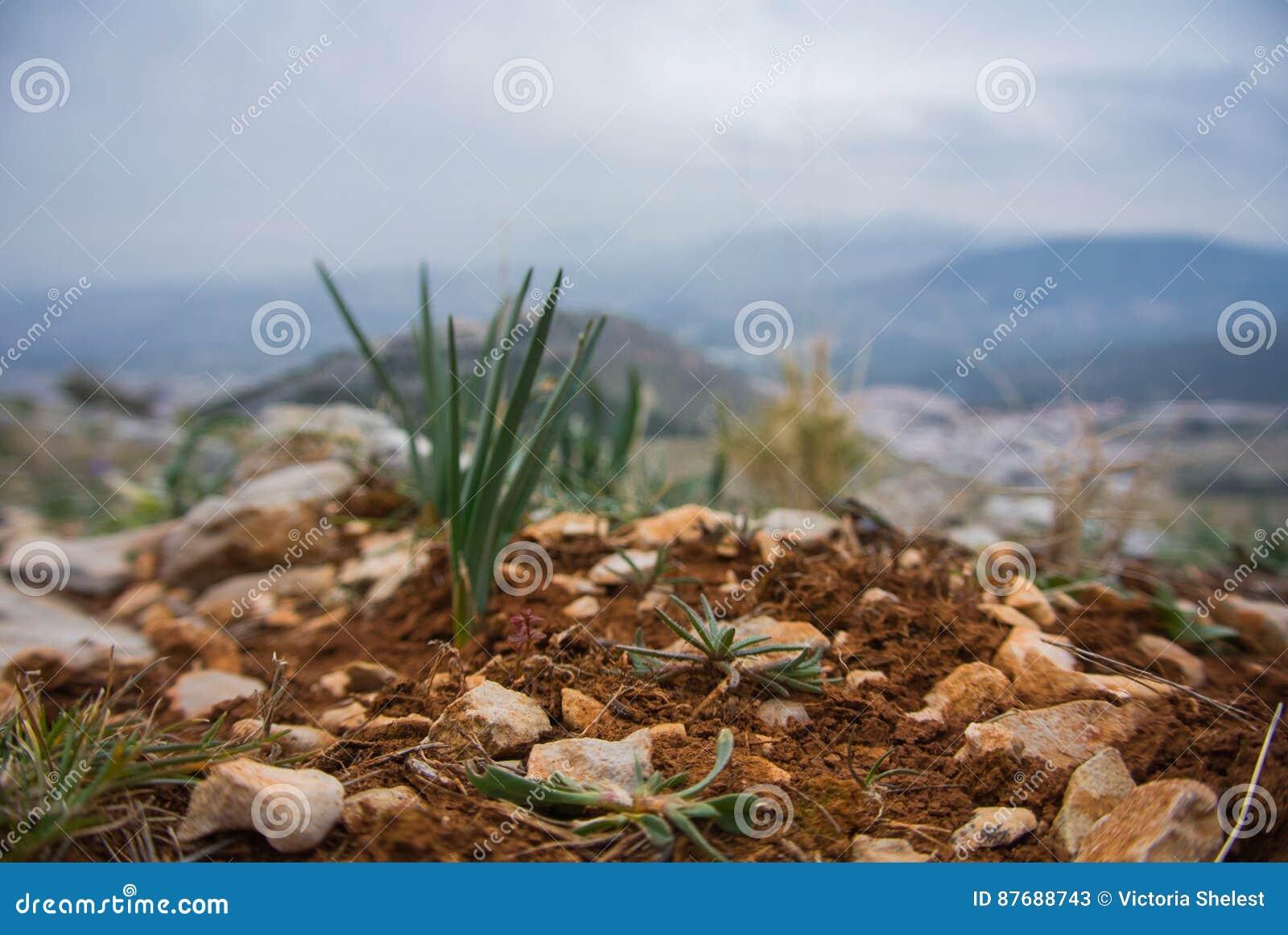 Ένας μικρός νεαρός βλαστός πεύκων ανάπτυξης στο έδαφος και τις πέτρες αργίλου