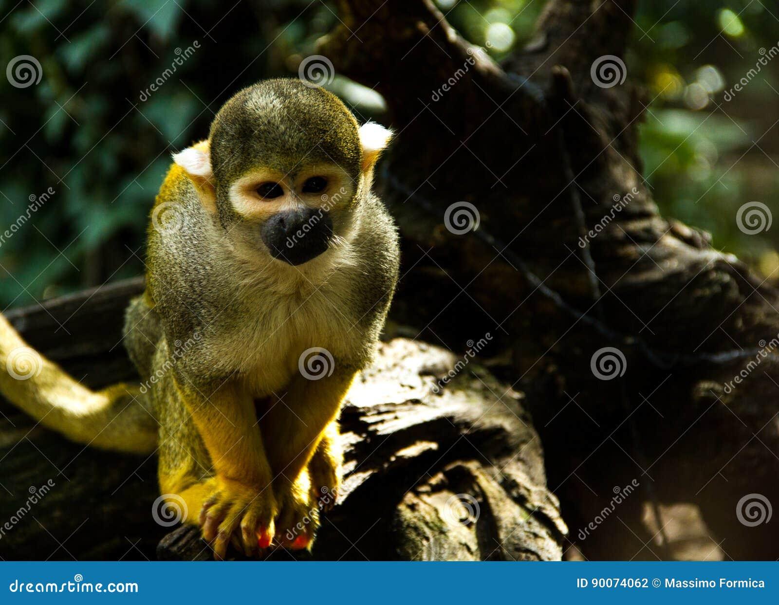 Ένας μικρός πίθηκος σκιούρων