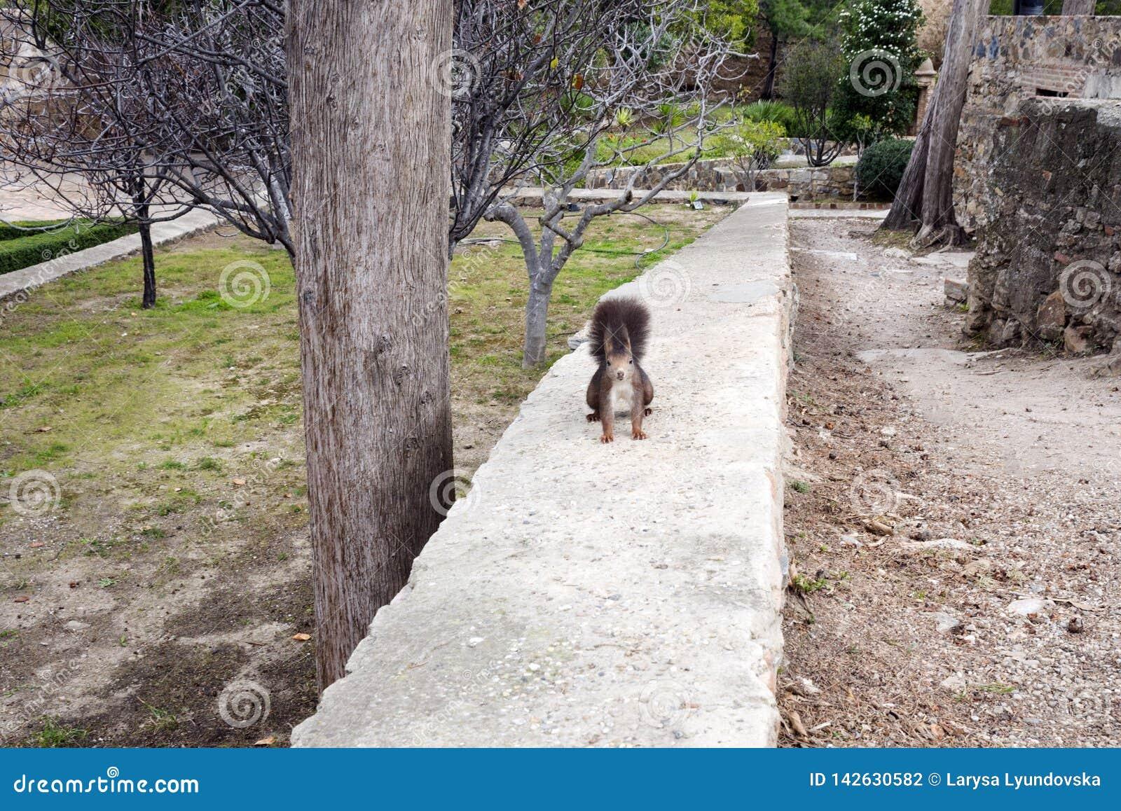 Ένας σκοτεινός καφετής γούνινος σκίουρος κάθεται τα οπίσθια πόδια κοντά σε ένα μεγάλο δέντρο στο πάρκο