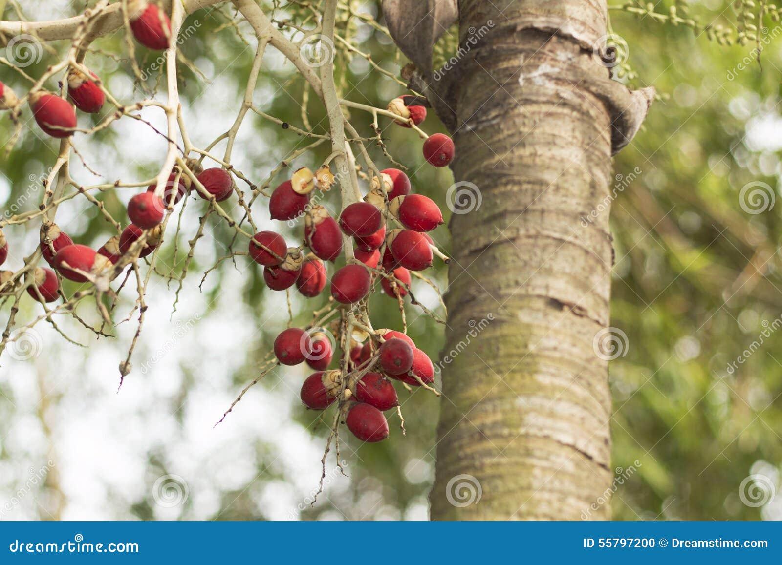 Ένας φοίνικας με τα κόκκινα φρούτα