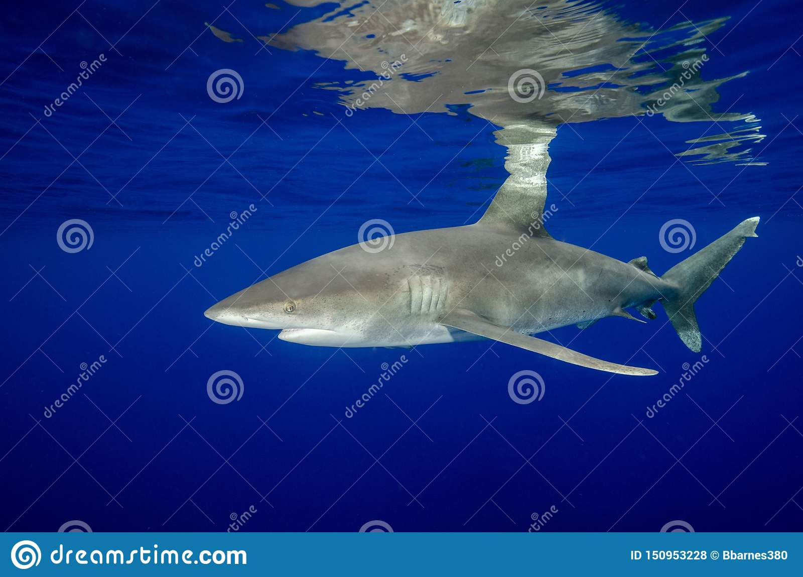 Ένας ωκεάνειος άσπρος καρχαρίας ακρών και οι αντανακλάσεις του στις Μπαχάμες