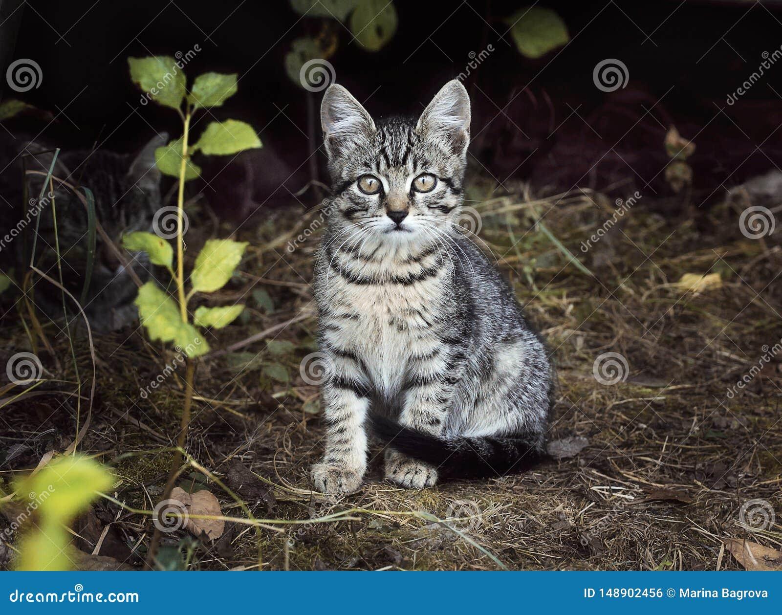 Ένας όμορφος λίγα το γκρίζο άσπρο ριγωτό γατάκι κάθεται στη χλόη Γατάκι ενδιαφερόμενο και δύσπιστα βλέμματα Οδός