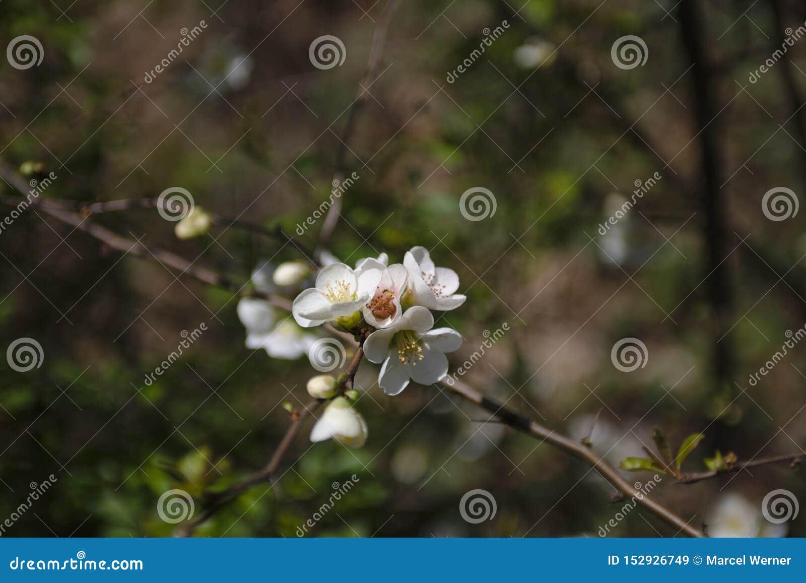 Ένα άγριο κεράσι ανθίζει δέντρο την άνοιξη