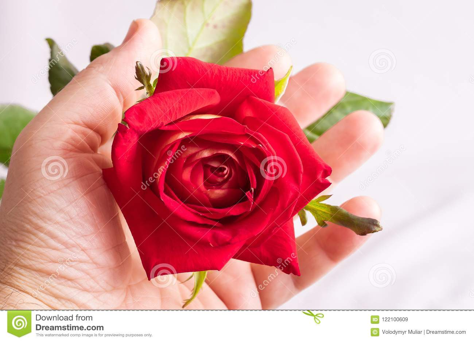 Ένα άτομο κρατά ότι ένα κόκκινο αυξήθηκε στο χέρι του Θαυμασμός της ομορφιάς του flowe
