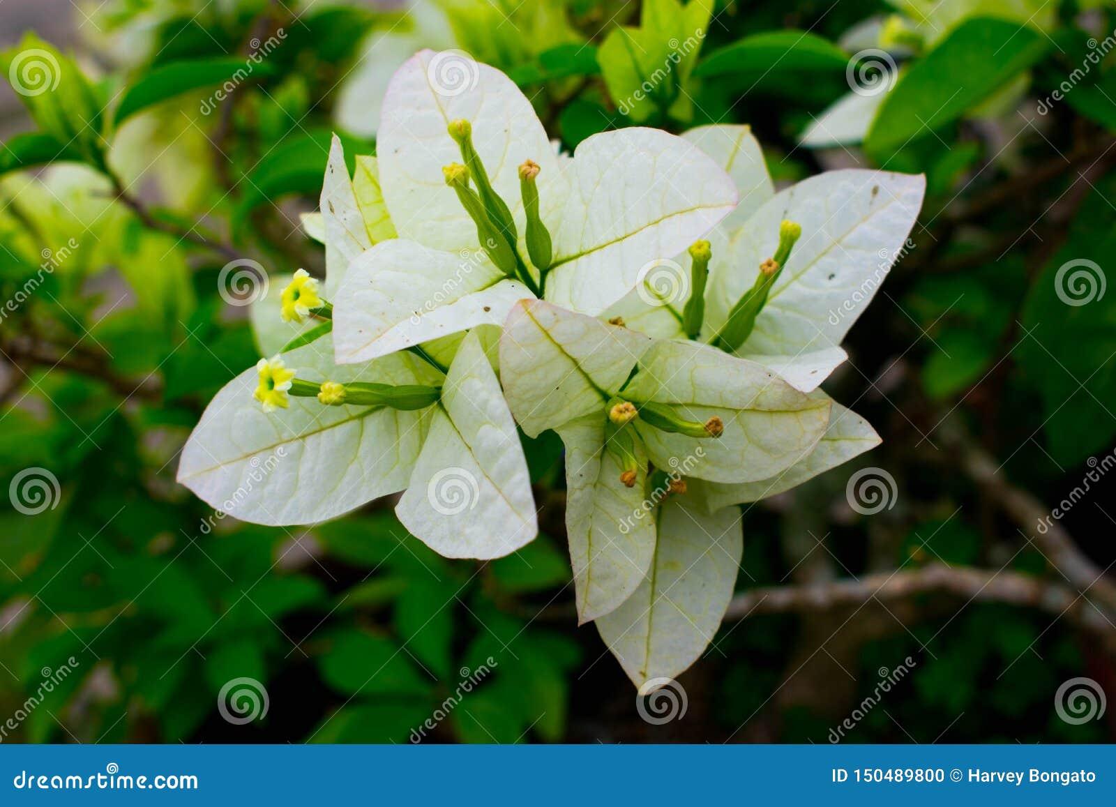 Ένα ανθίζοντας φρέσκο και ζωηρό άσπρο λουλούδι Bougainvillea