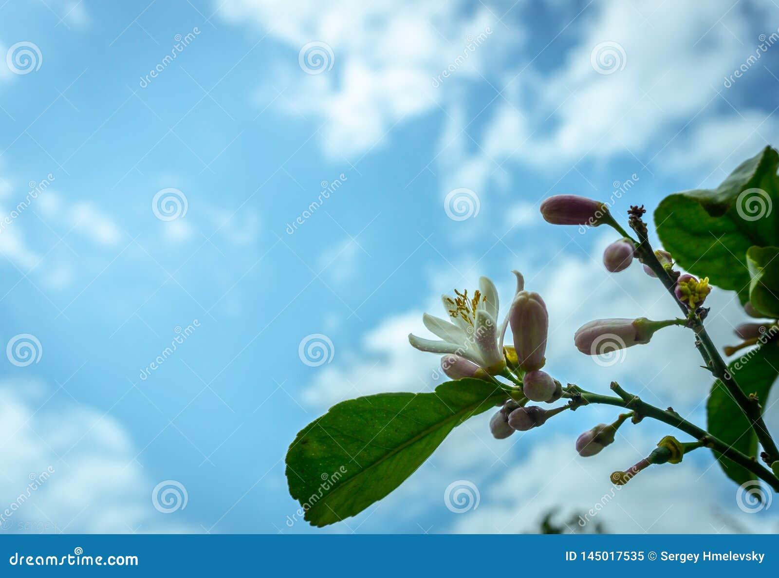 Ένα δέντρο λεμονιών στην άνθιση