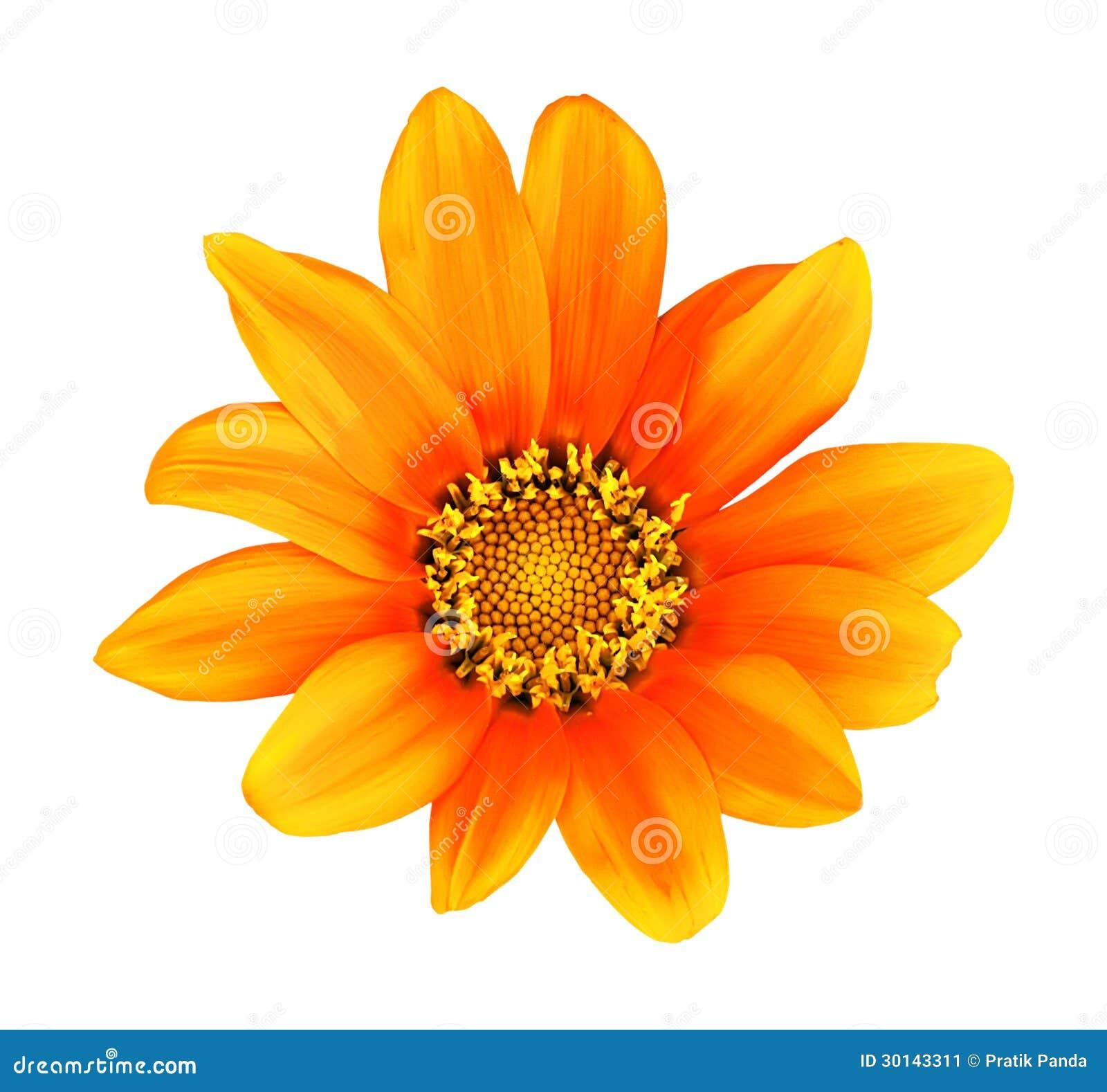 Πορτοκαλιά απομονωμένη HDR ζωγραφική λουλουδιών gerbera