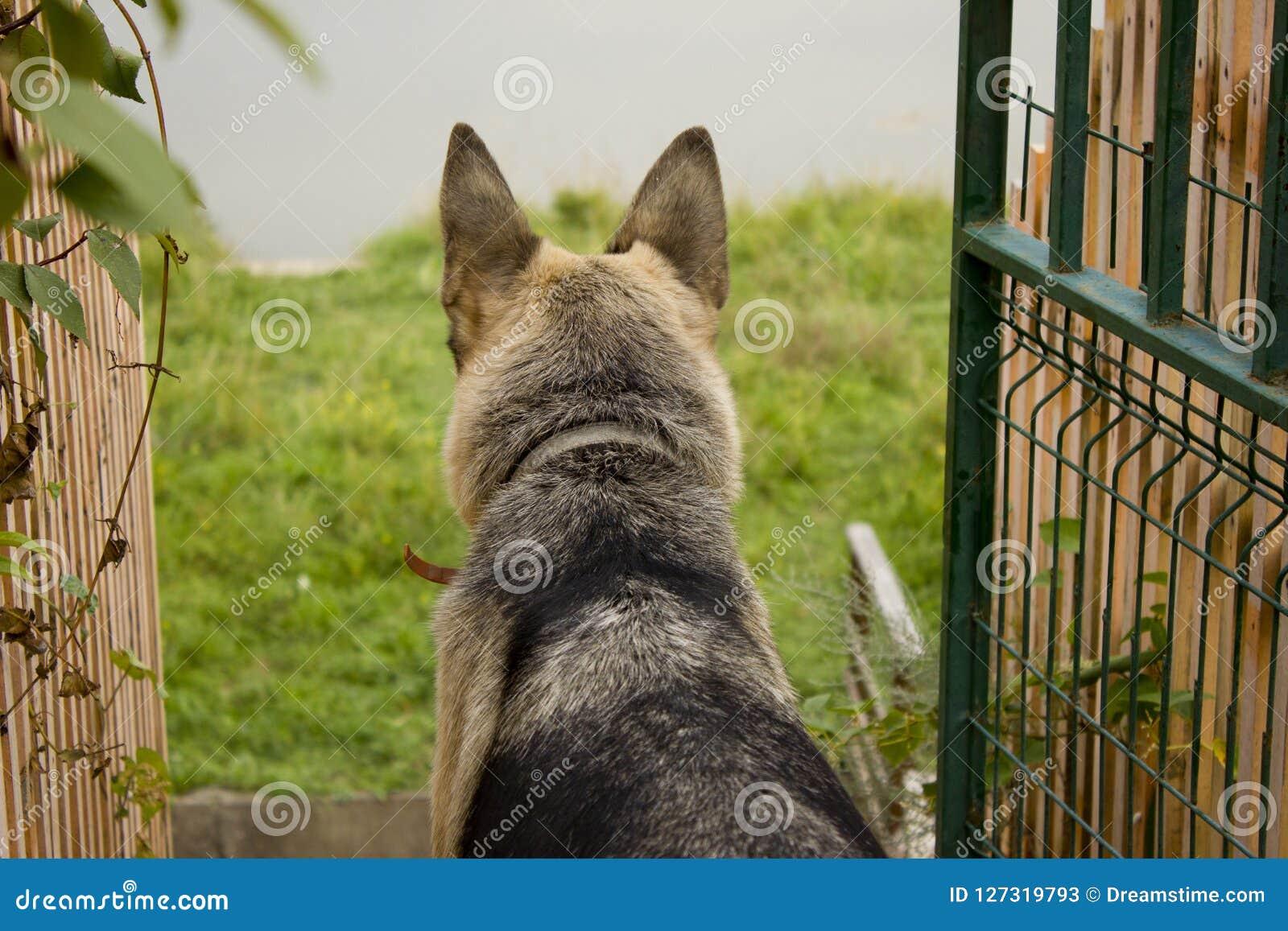 Ένα εσωτερικό σκυλί ενός τσοπανόσκυλου