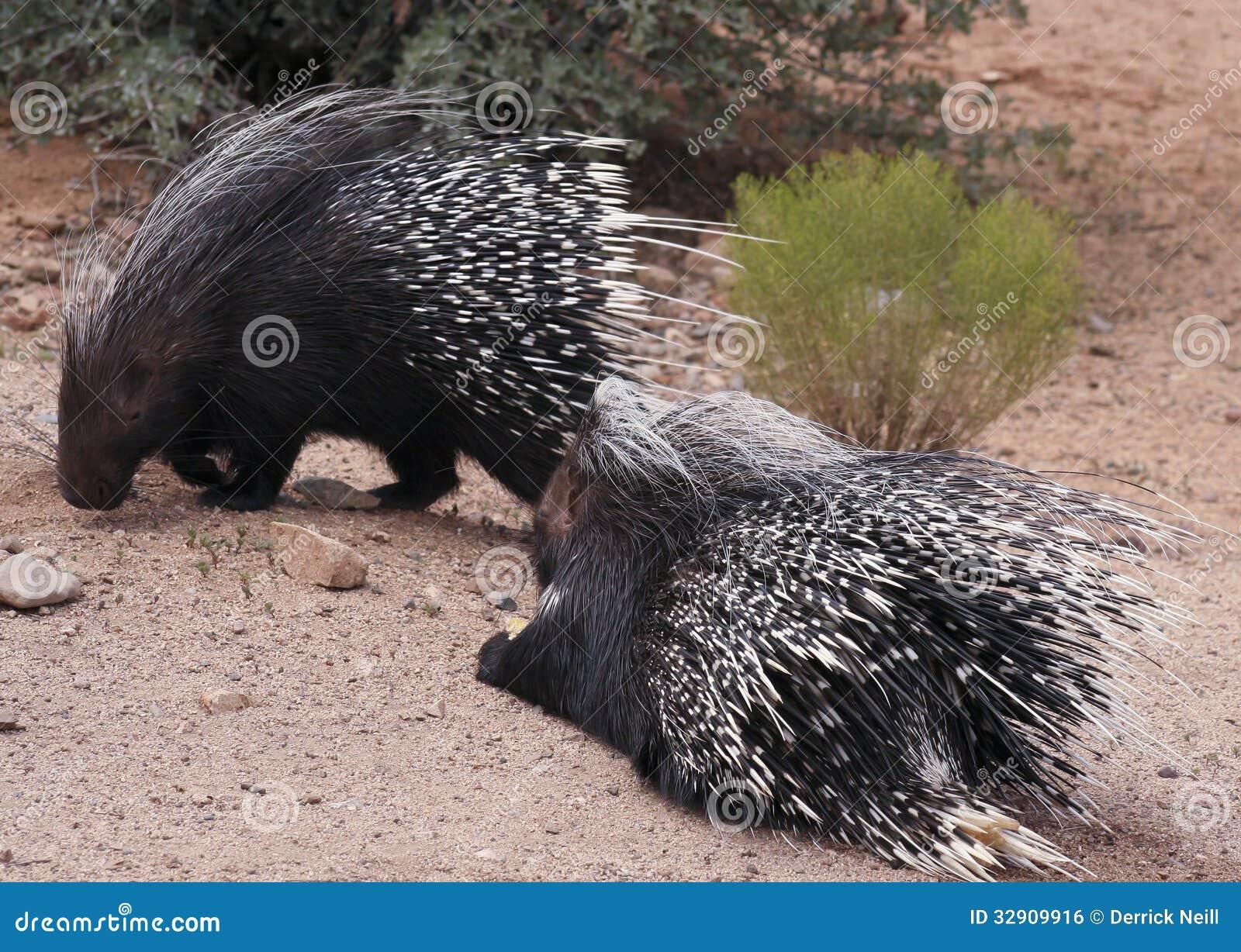 Ένα ζευγάρι αφρικανικά λοφιοφόρα Porcupines