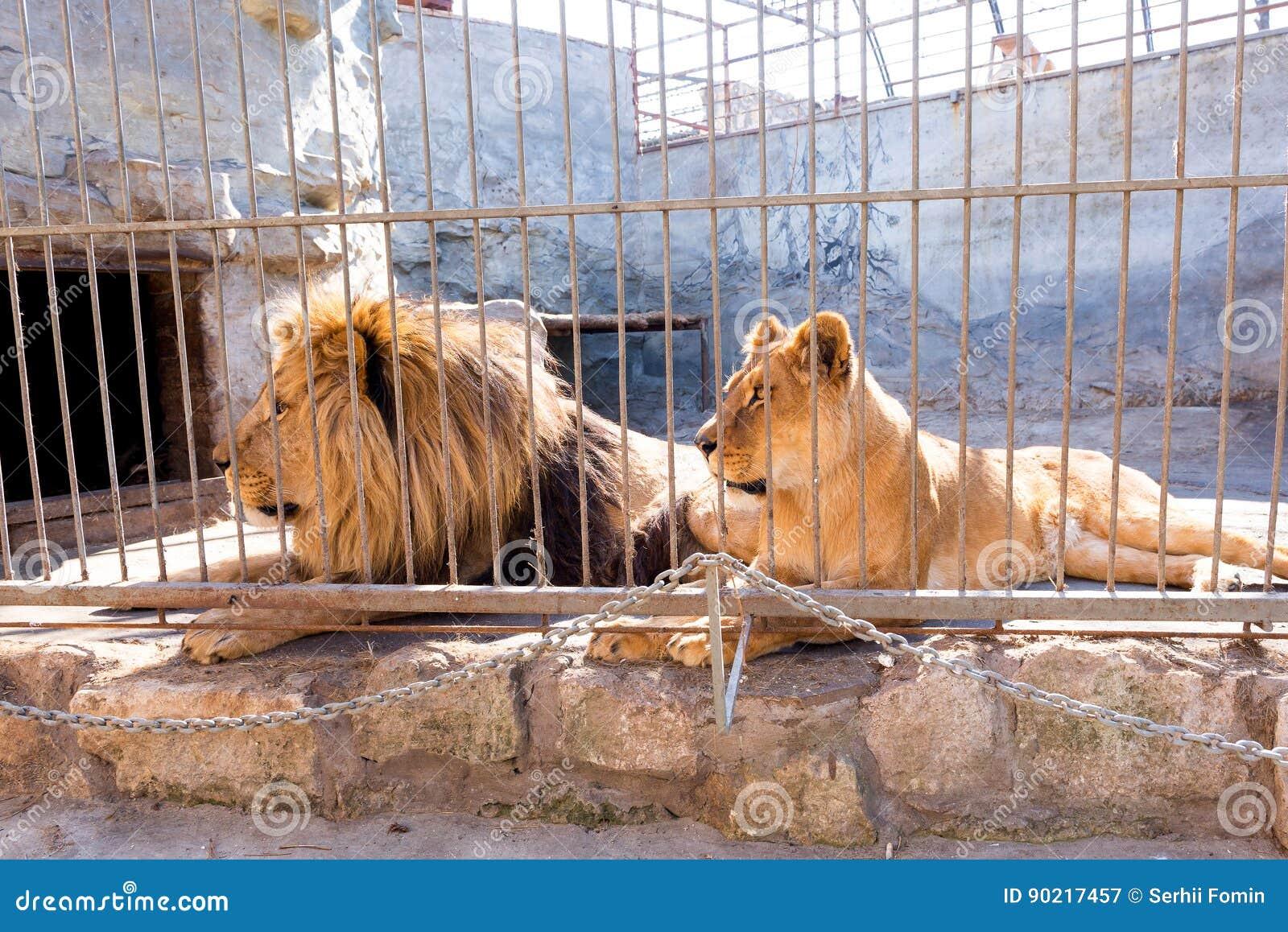 Ένα ζευγάρι των λιονταριών στην αιχμαλωσία σε έναν ζωολογικό κήπο πίσω από τα κάγκελα Δύναμη και επιθετικότητα στο κλουβί