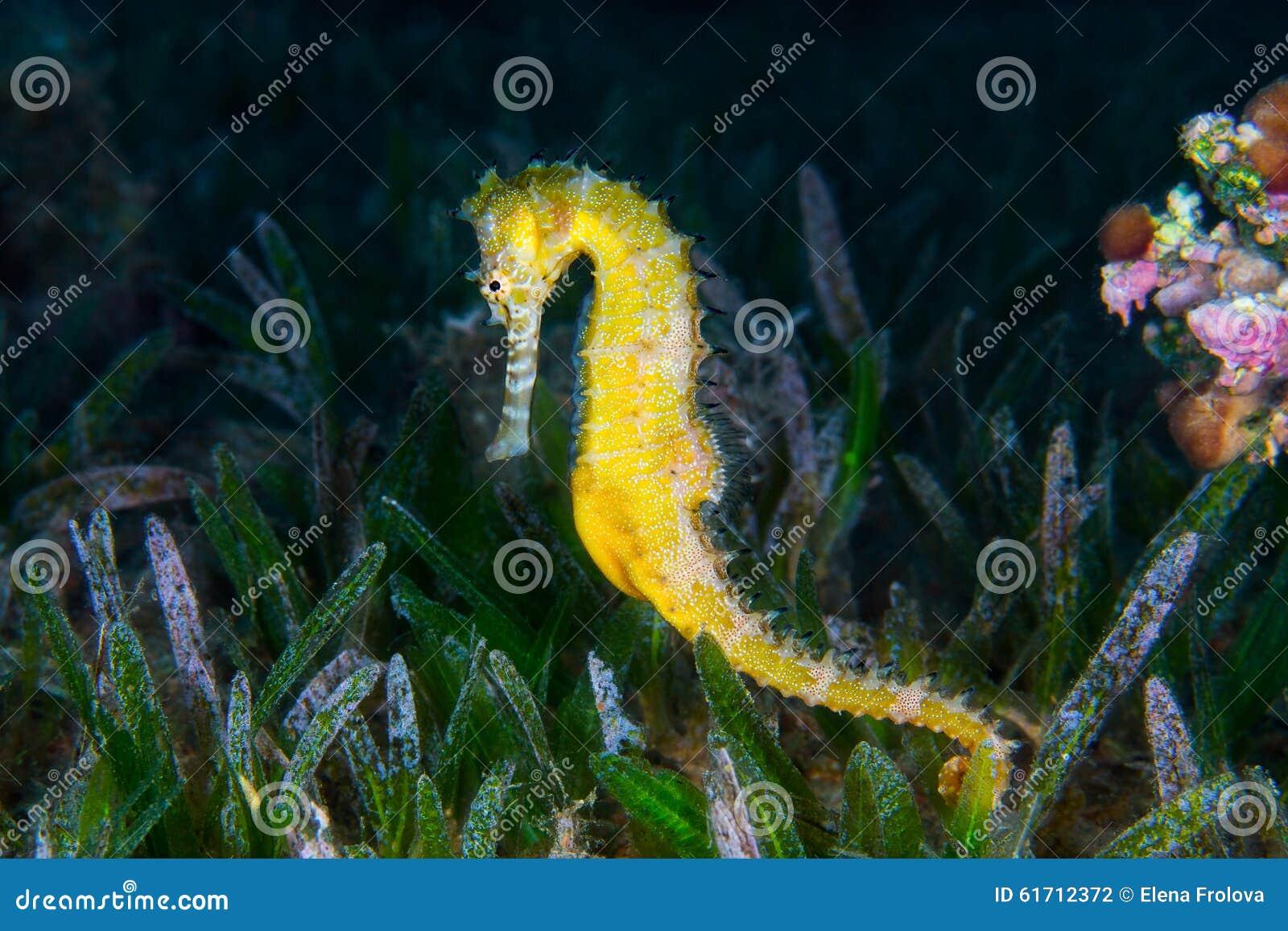 Ένα κίτρινο θηλυκό κοινό Seahorse (ιππόκαμπος Taeniopterus) στο θόριο