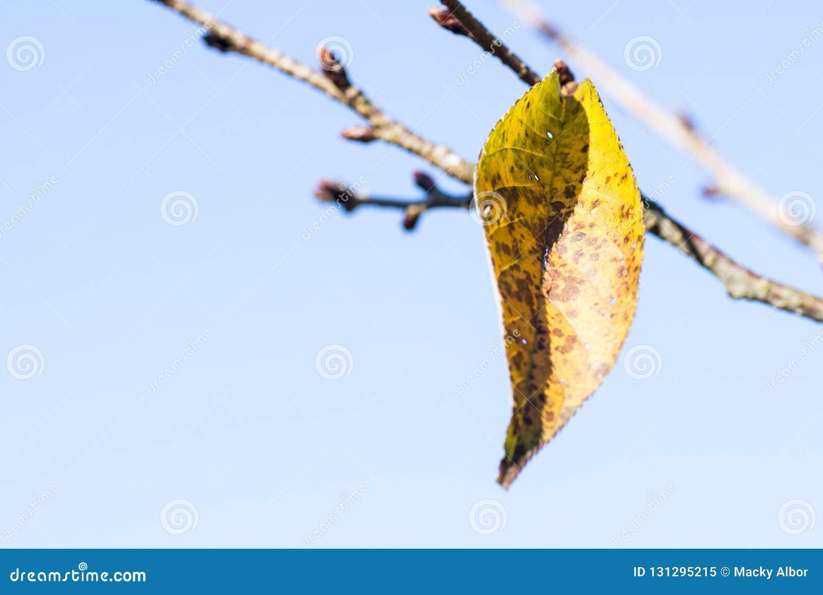 Ένα κίτρινο πορτοκαλί φύλλο του δέντρου ανθών κερασιών διαρκεί το ένα αριστερά το φθινόπωρο ή πέφτει