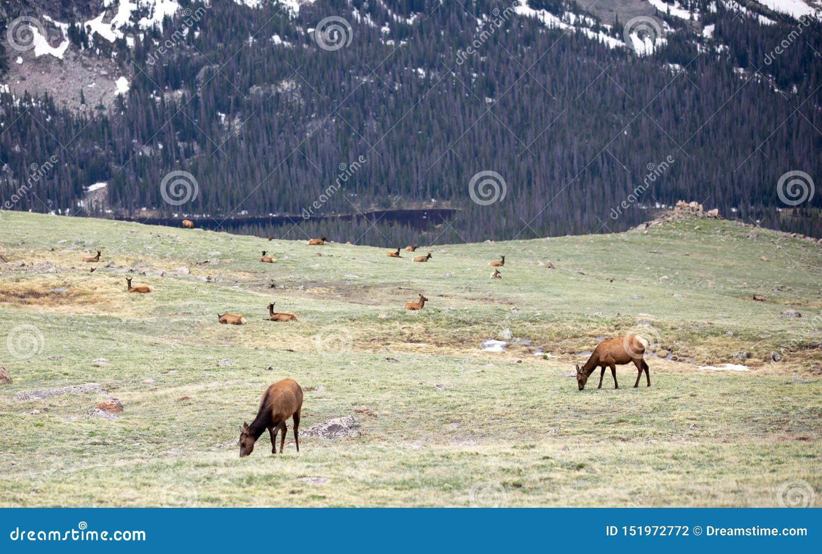 Ένα κοπάδι των αλκών που βόσκουν σε ένα αλπικό λιβάδι στο δύσκολο εθνικό πάρκο βουνών στο Κολοράντο