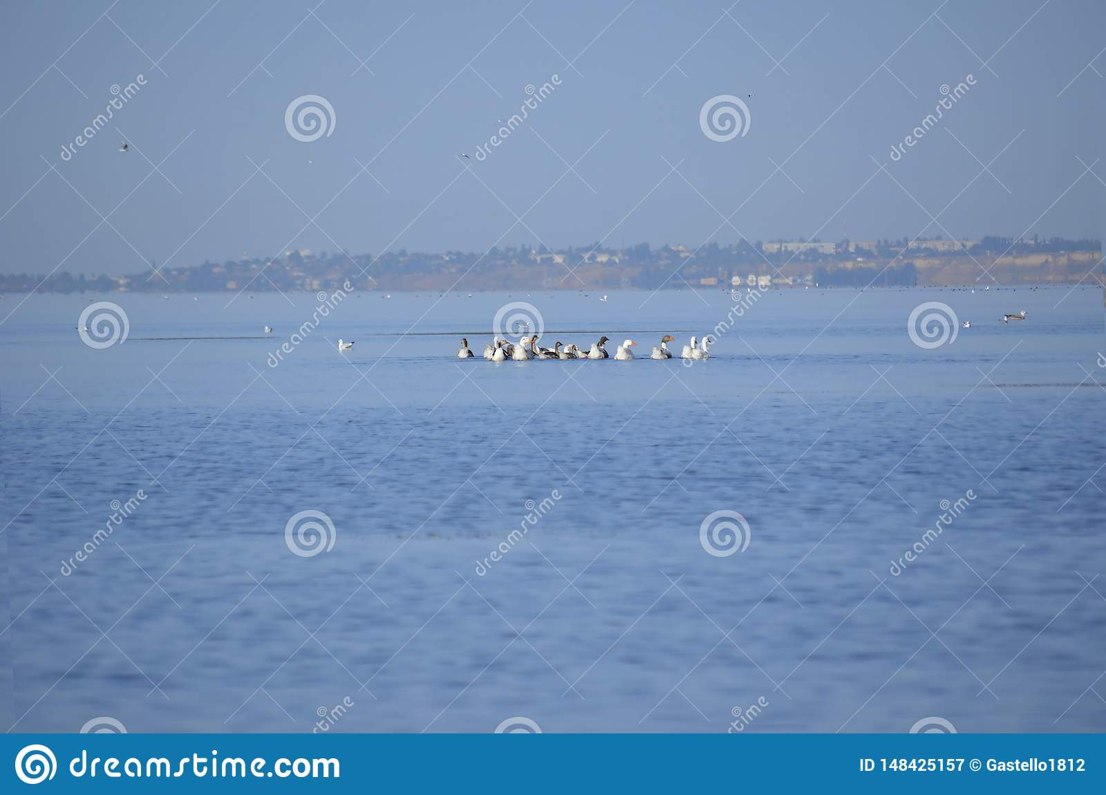 Ένα κοπάδι των ducky παπιών που κολυμπούν στον ποταμό