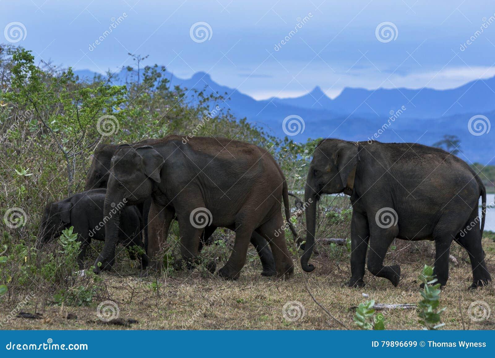 Ένα κοπάδι των ελεφάντων διευθύνει στο bushland στο εθνικό πάρκο Uda Walawe