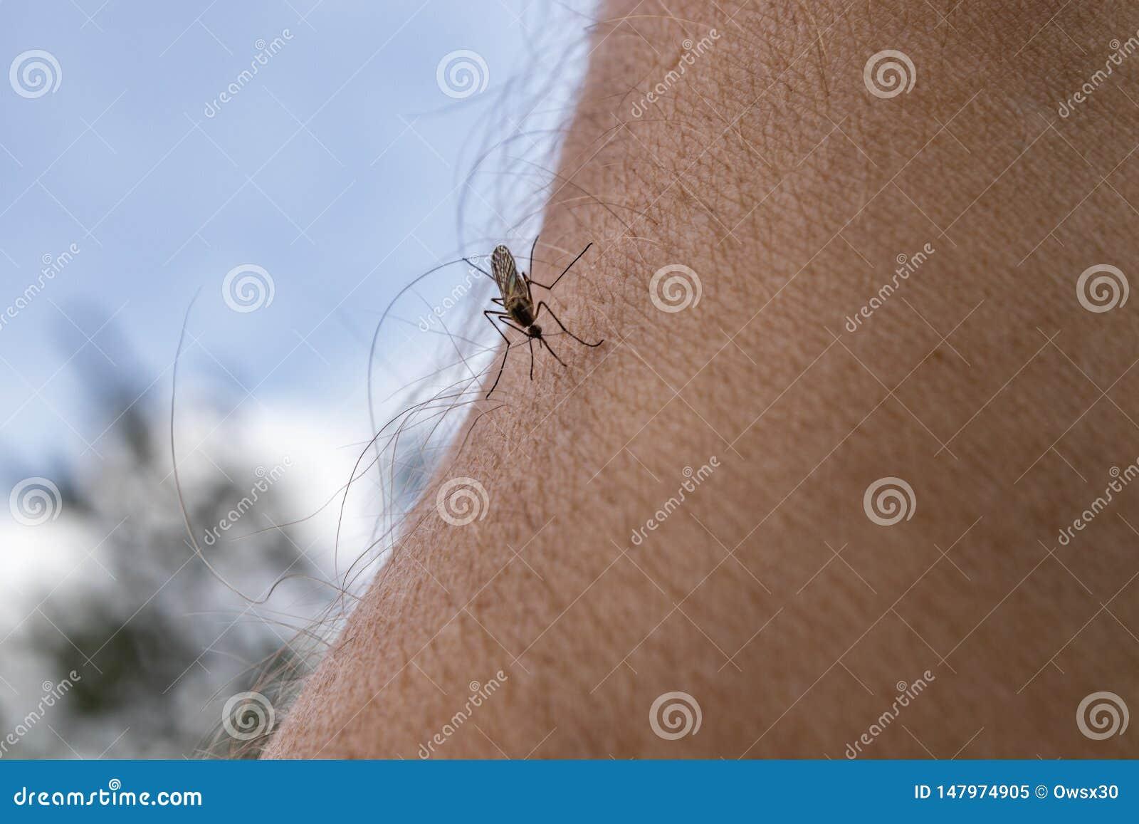 Ένα κουνούπι κάθεται σε ετοιμότητα, διαπερνά το δέρμα και απορροφά το ανθρώπινο αίμα Προκαλεί την ελονοσία ασθενειών Τα κουνούπια