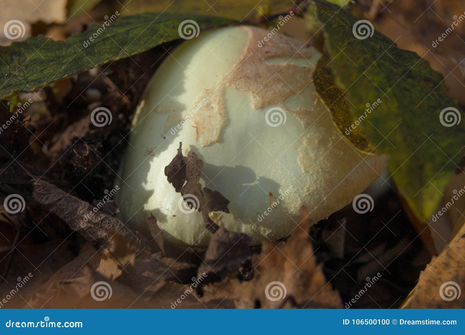 Ένα μανιτάρι ΚΑΠ κάτω από το πράσινο φύλλωμα