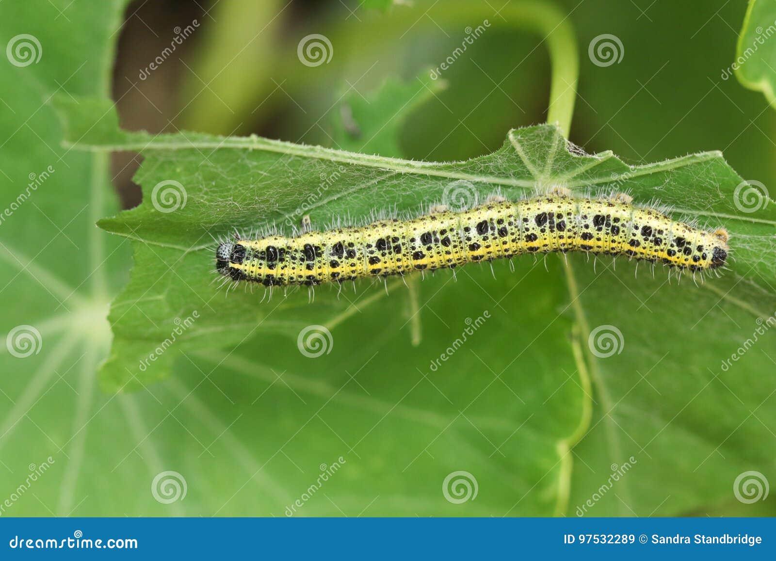 Ένα μεγάλα άσπρα brassicae του Caterpillar Pieris πεταλούδων που ταΐζουν με εγκαταστάσεις