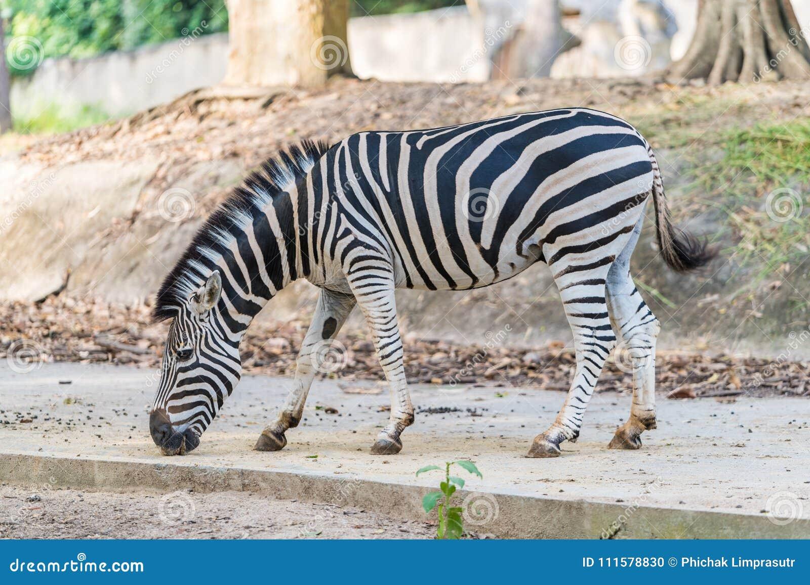 Ένα με ραβδώσεις κάτω από την αιχμαλωσία σε έναν ιδιωτικό ζωολογικό κήπο
