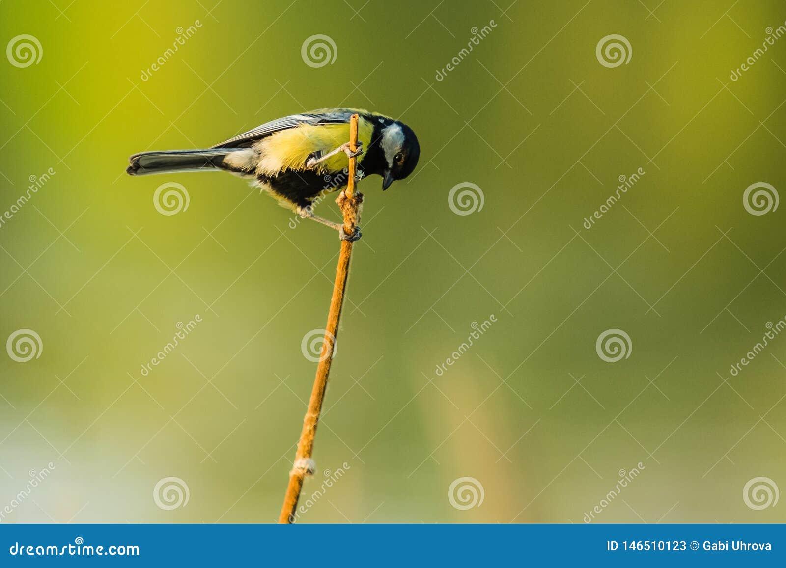 Ένα μικρό ευρωπαϊκό κίτρινο και μαύρο Songbird, μεγάλο tit