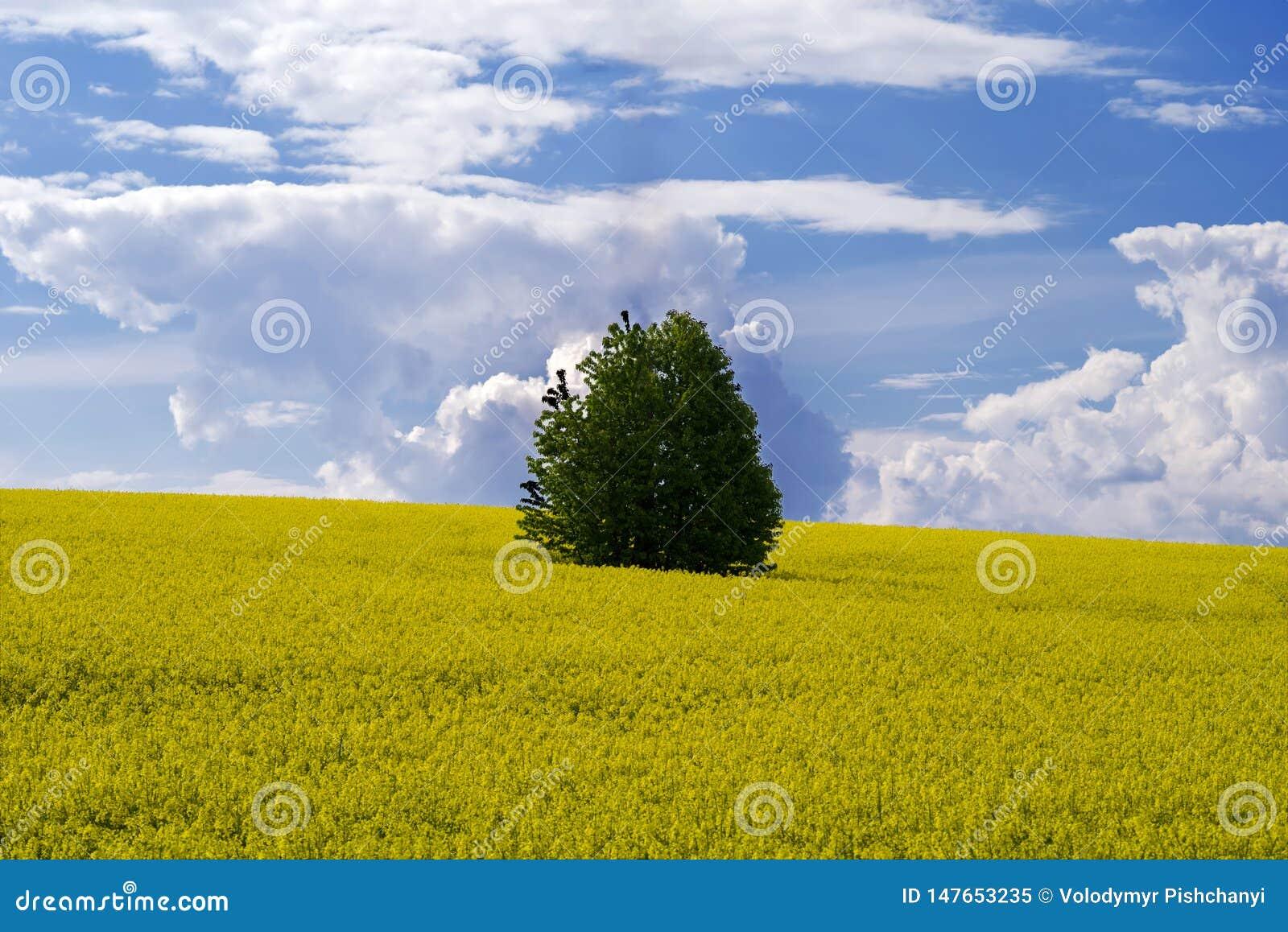 Ένα μόνο δέντρο στη μέση ενός τομέα του canola άνθισης ενάντια σε έναν μπλε ουρανό με τα σύννεφα
