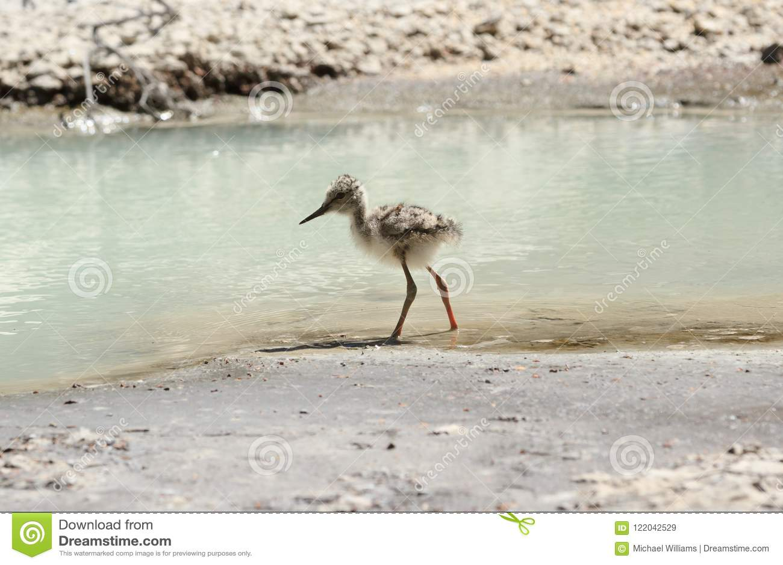Ένα νεανικό παρδαλό ξυλοπόδαρο από την άκρη νερού ` s