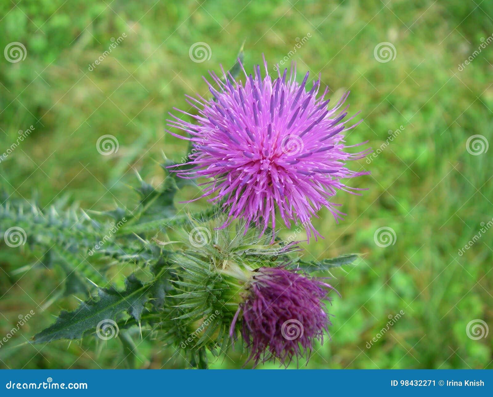 Ένα λουλούδι ενός κάρδου