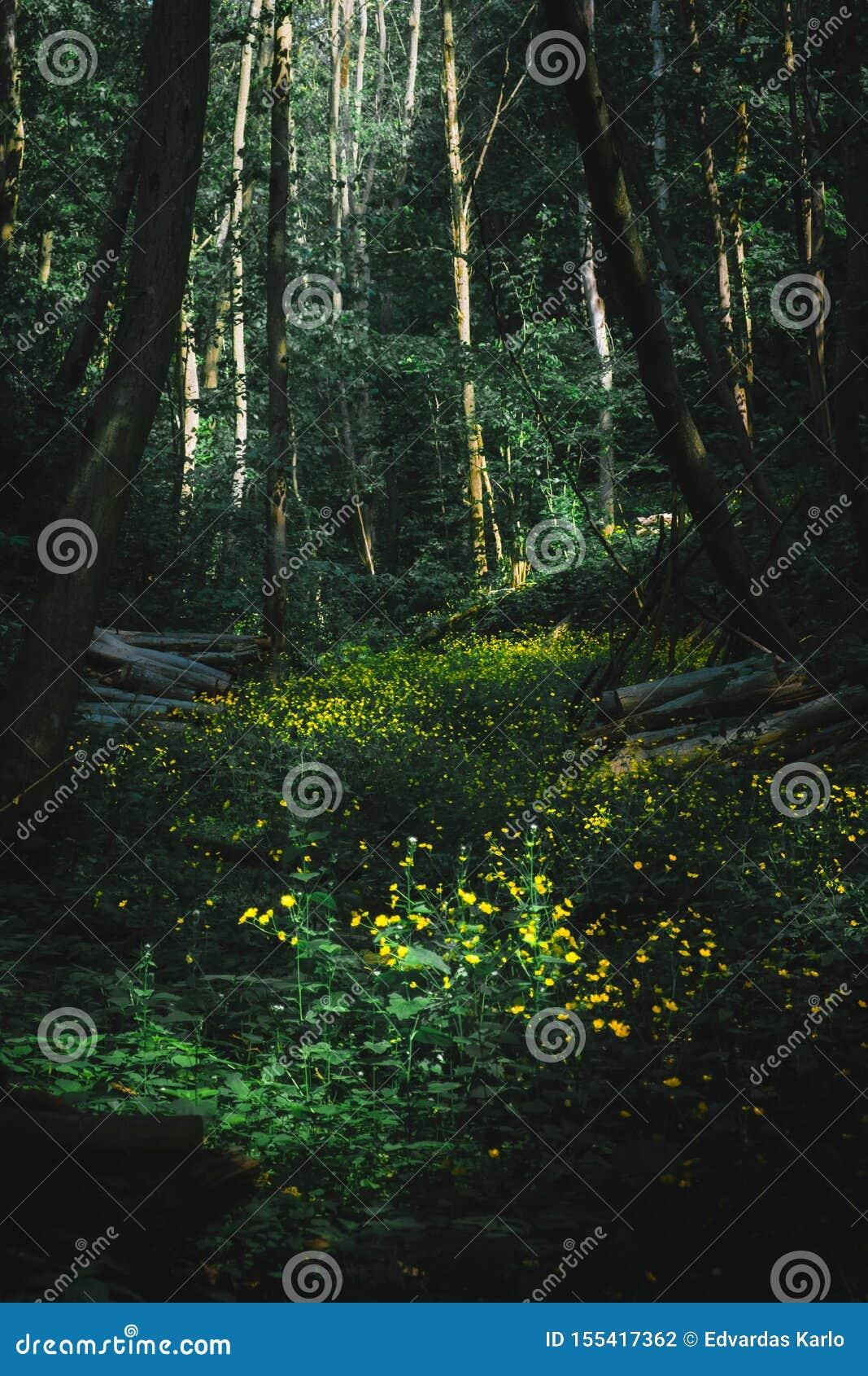 Ένα πολύβλαστο λιβάδι στη μέση του δάσους ώριμου με την κίτρινη άνθιση ανθίζει