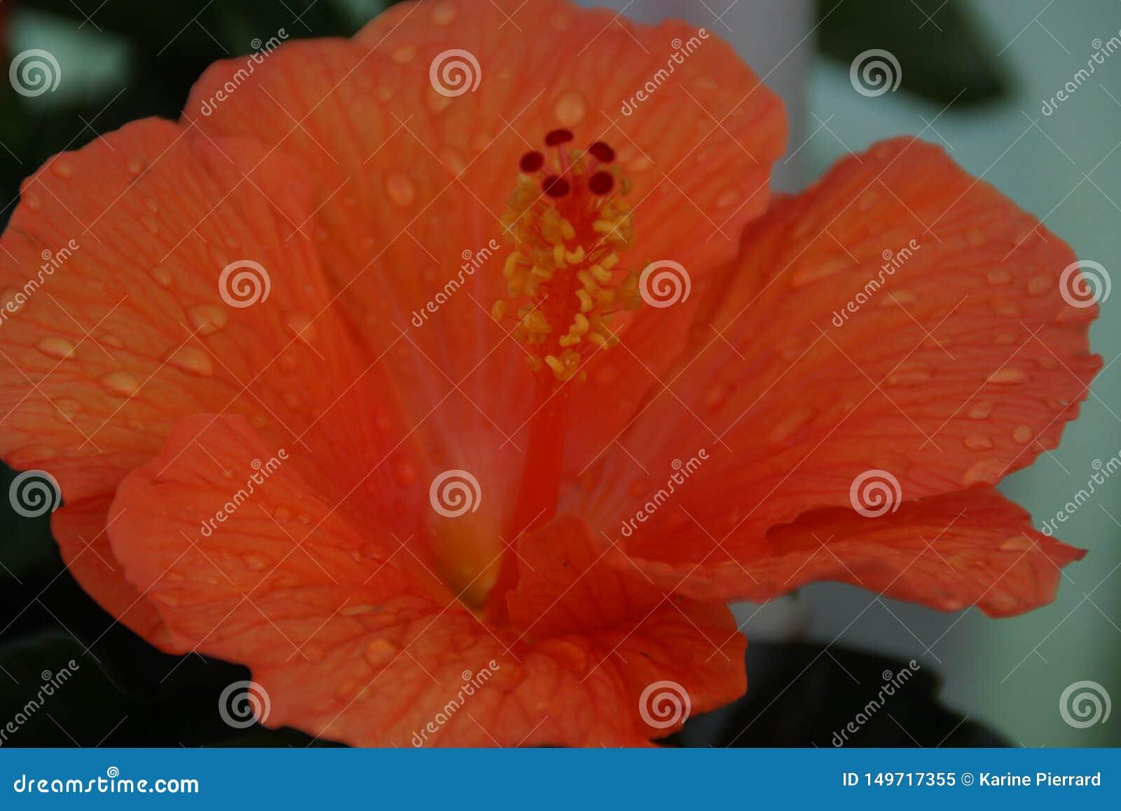 Ένα πορτοκαλιά λουλούδι και ένα νερό πτώσεων