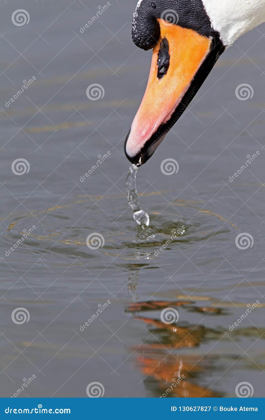Ένα πορτρέτο ενός βουβού olor αστερισμού του Κύκνου κύκνων που είναι πόσιμο νερό