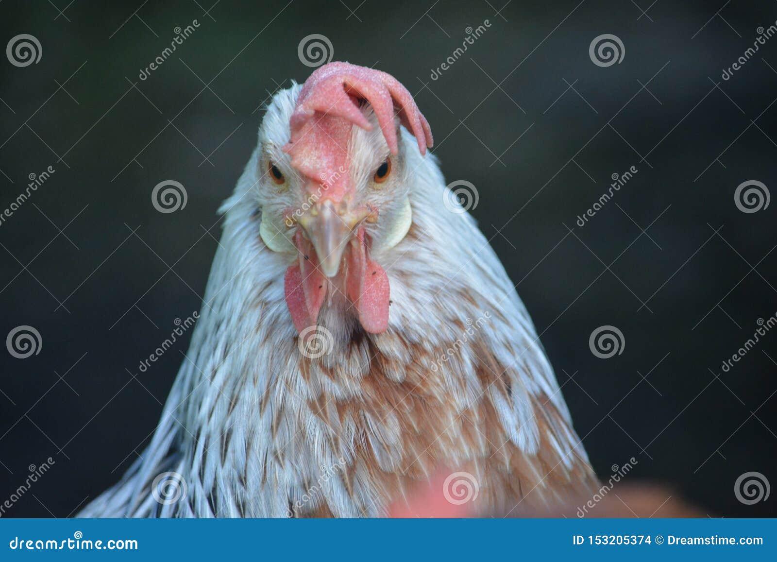 Ένα πρόσωπο στην άποψη ενός πολύ γκρινιάρικου κοτόπουλου