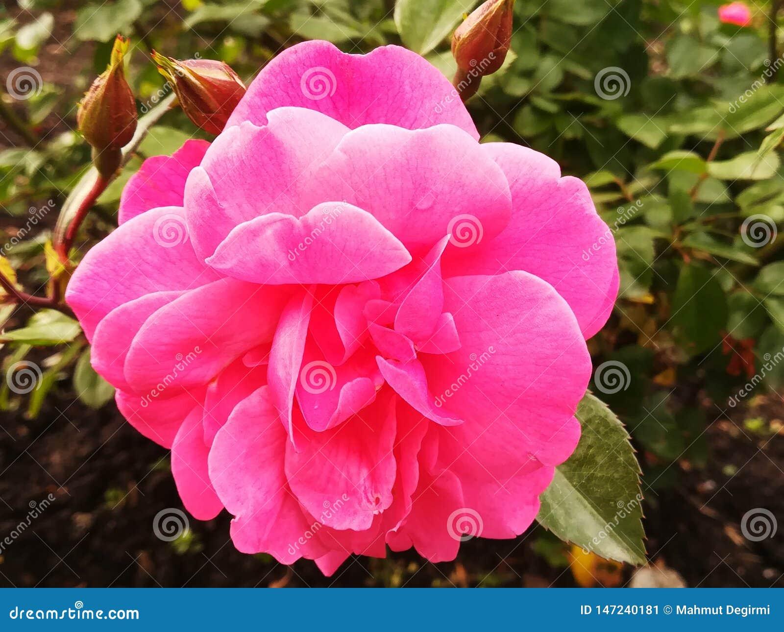 Ένα ρόδινο λουλούδι