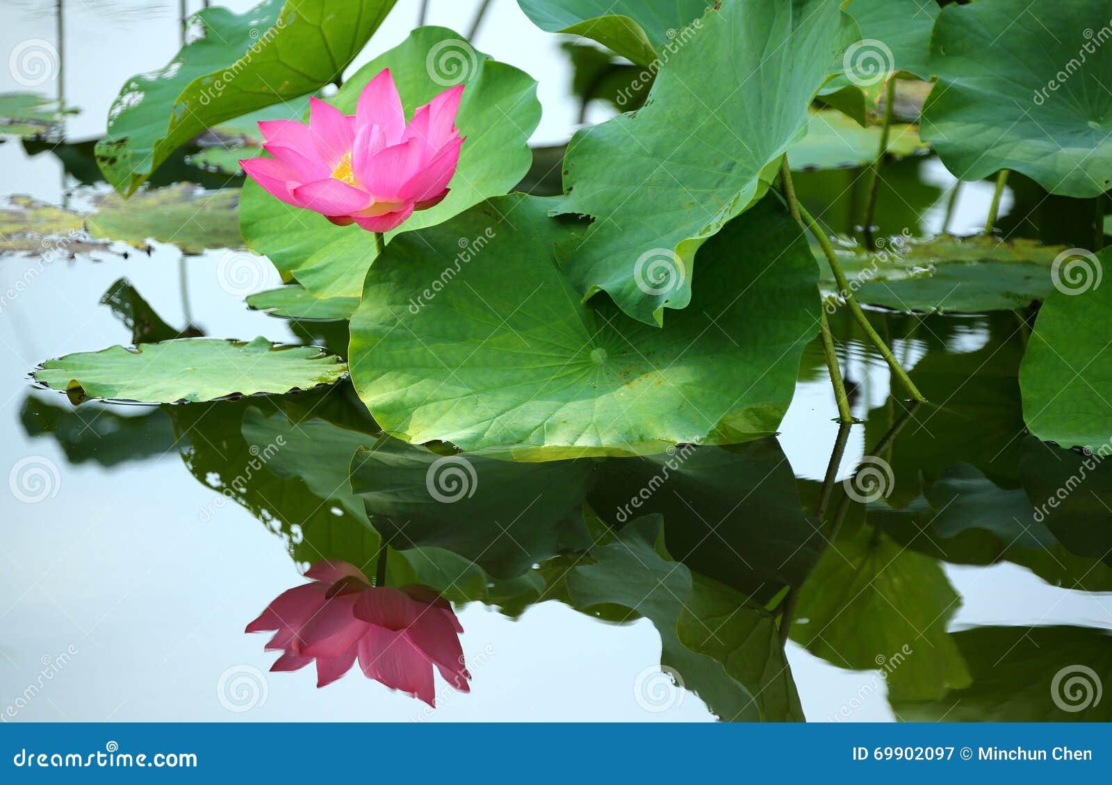 Ένα ρόδινο λουλούδι λωτού που ανθίζει μεταξύ των πολύβλαστων φύλλων σε μια λίμνη