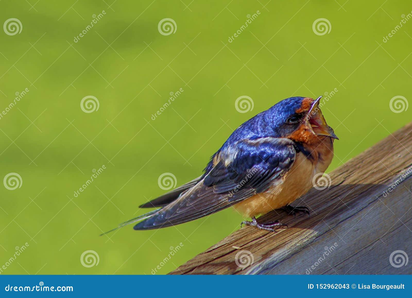 Ένα στενό επάνω τραγούδι πουλιών