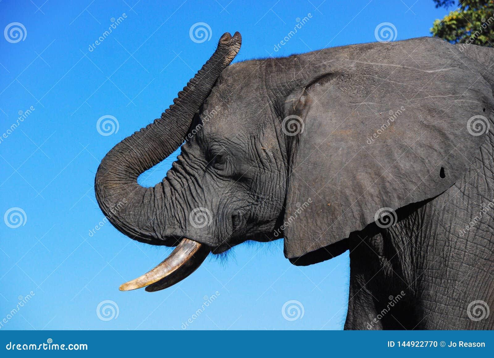 Ένα σχεδιάγραμμα ενός κεφαλιού ελεφάντων
