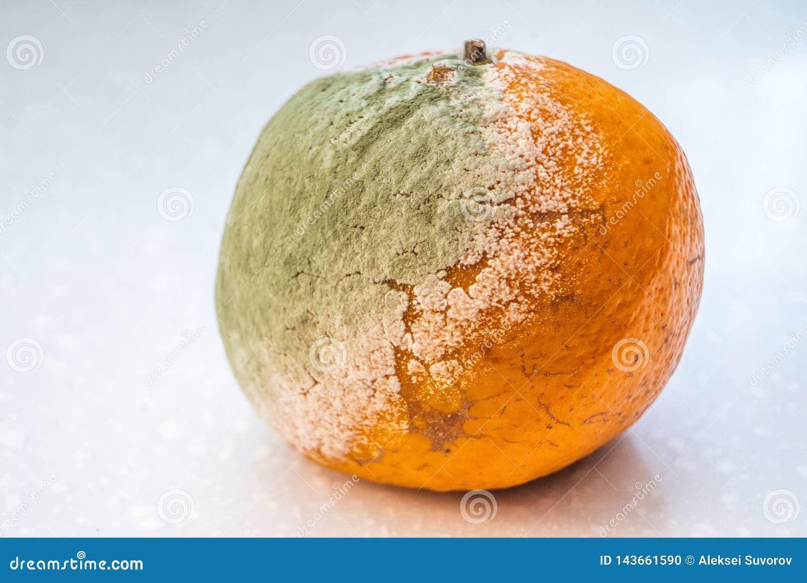 Ένα σύνολο σάπιων moldy πορτοκαλιών, tangerines στο άσπρο υπόβαθρο Μια φωτογραφία της φόρμας ανάπτυξης Μόλυνση τροφίμων
