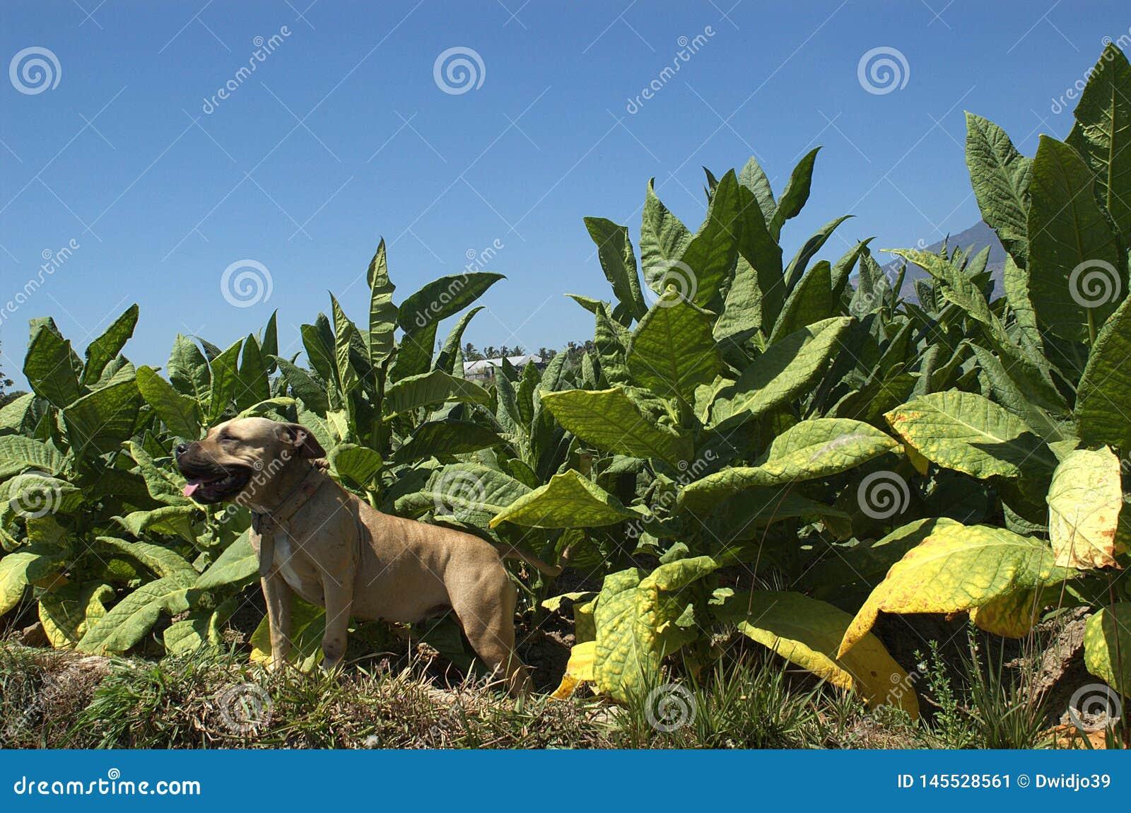 Ένα χαμόγελο pitbull στον τομέα καπνών