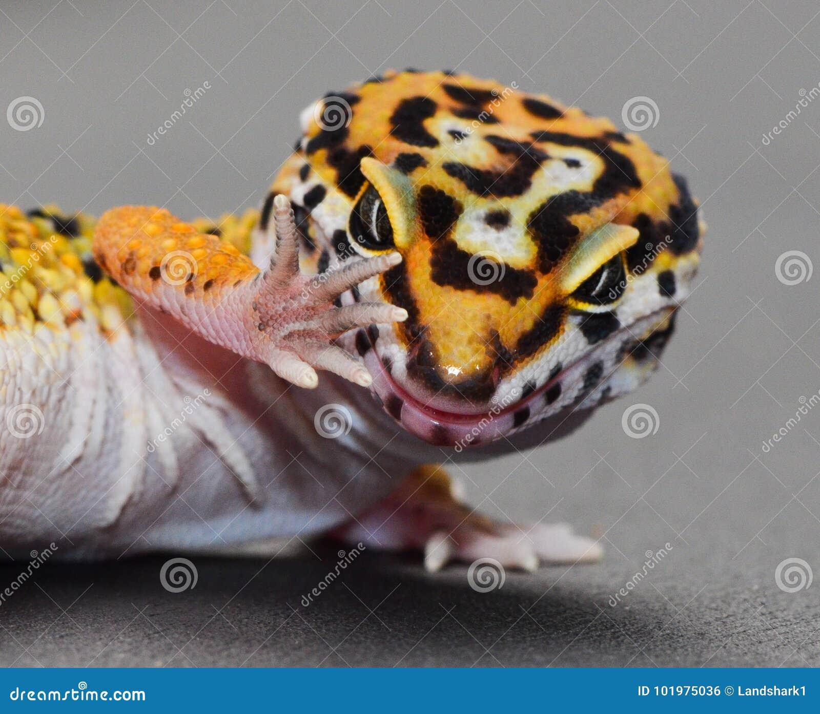 Ένα gecko λεοπαρδάλεων με την τοποθέτηση συζήτηση χεριών