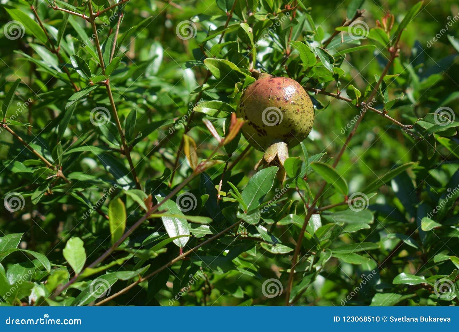 Ένα unripe ρόδι κρεμά σε ένα δέντρο μεταξύ του παχιού πράσινου φυλλώματος