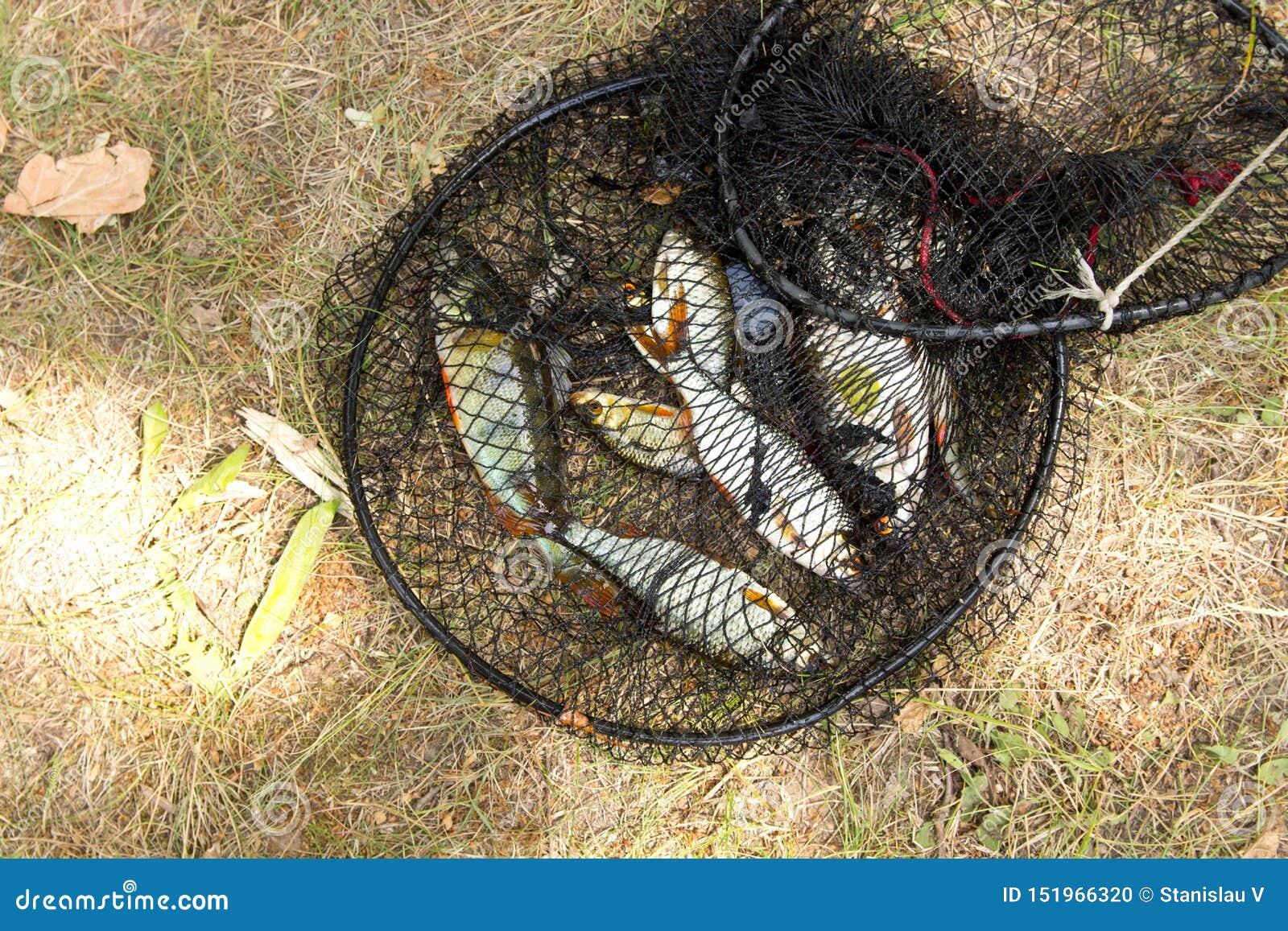 Έννοια αλιείας Του γλυκού νερού ψάρια στο κλουβί
