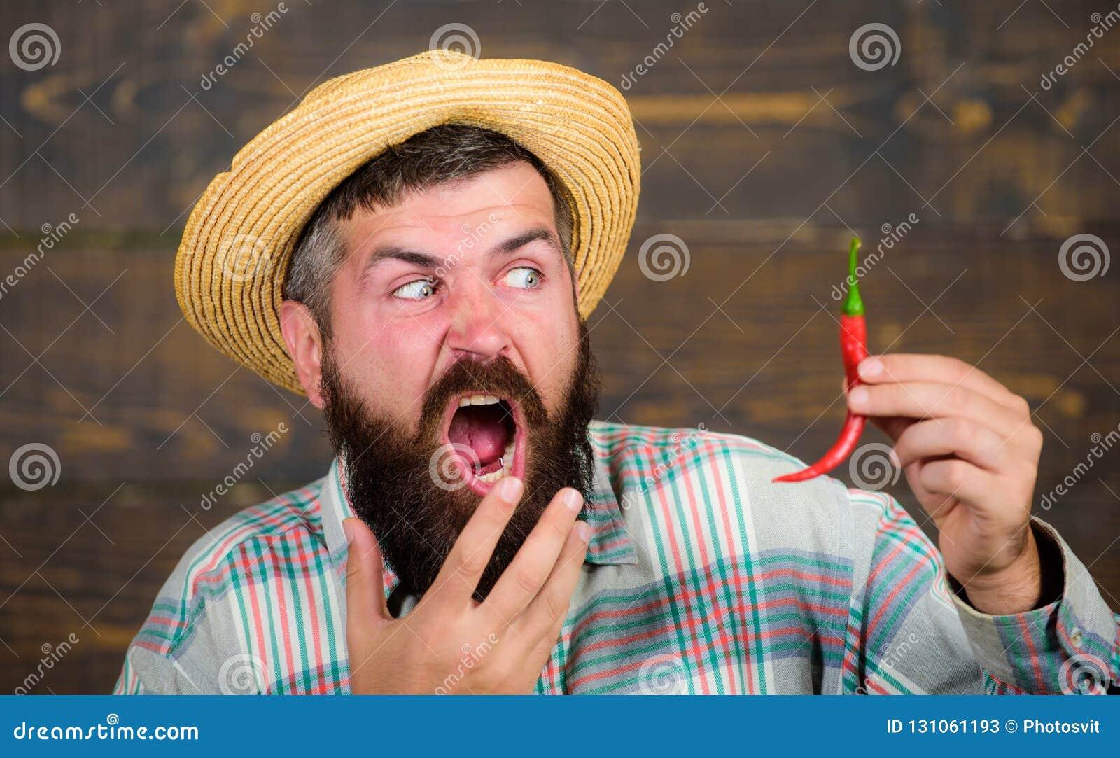 Έννοια συγκομιδών πιπεριών Ο αγροτικός αγρότης στο καπέλο αχύρου συμπαθεί το πικάντικο γούστο Γενειοφόρος λαβή αγροτών συγκομιδών